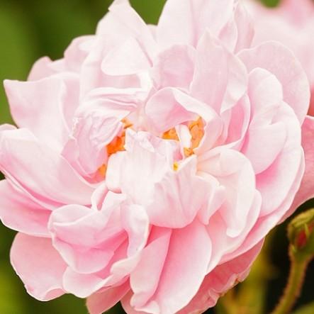 『バラの女王には美容効果がいっぱいです!』